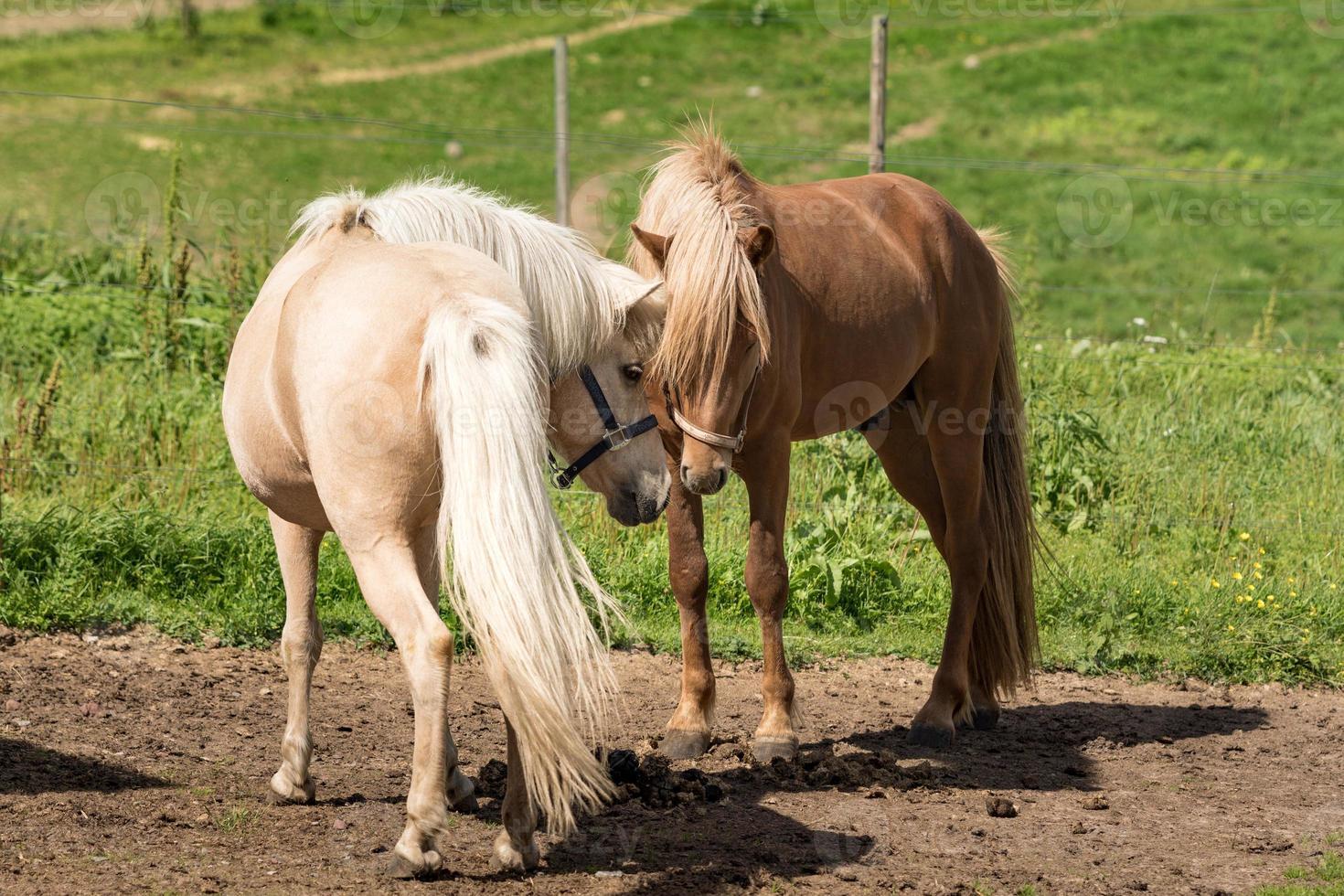 IJslandse paarden maken vrienden voordat ze gaan paren foto