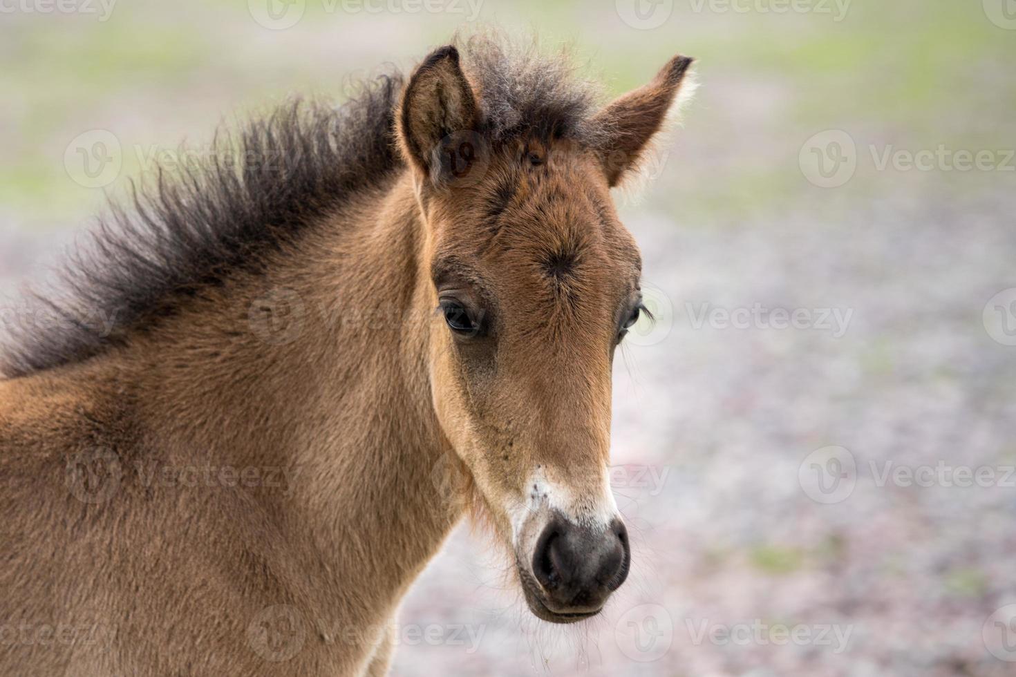 hoofdportret van een jong IJslands paardveulen foto