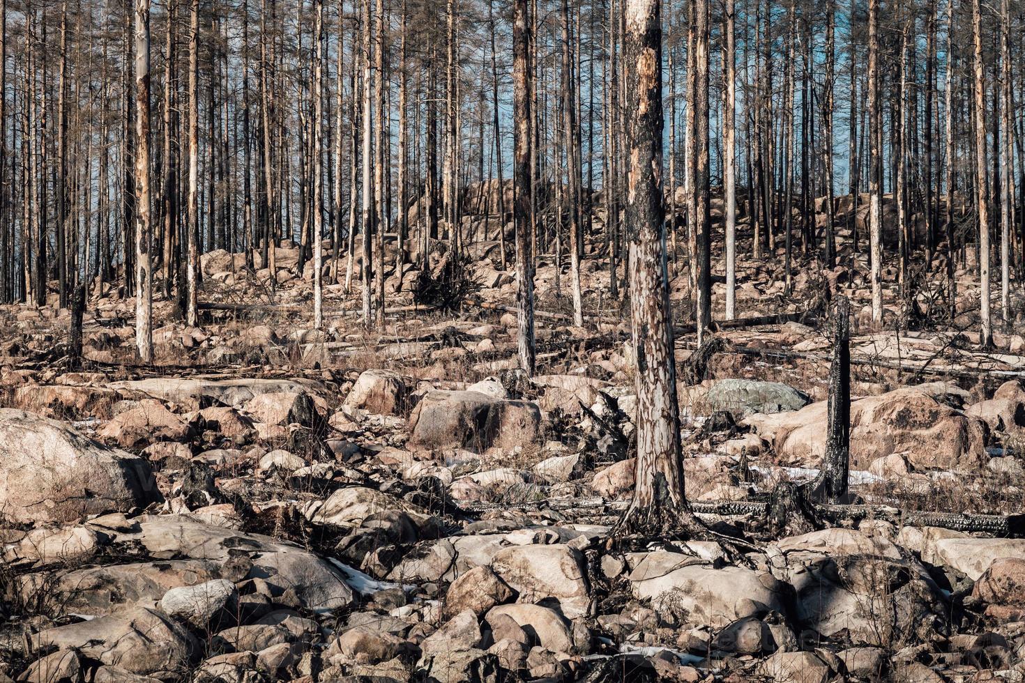 overgebleven dode en verbrande bomen in een door brand geteisterd bos foto
