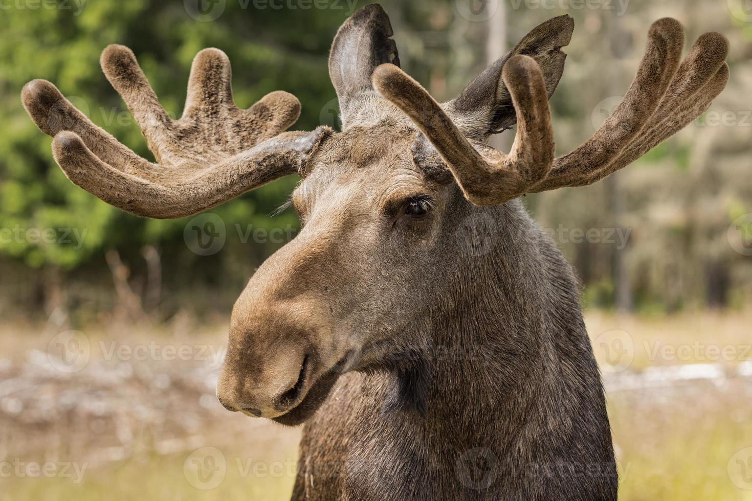 close-up van een grote mannelijke elandbok met groot gewei foto
