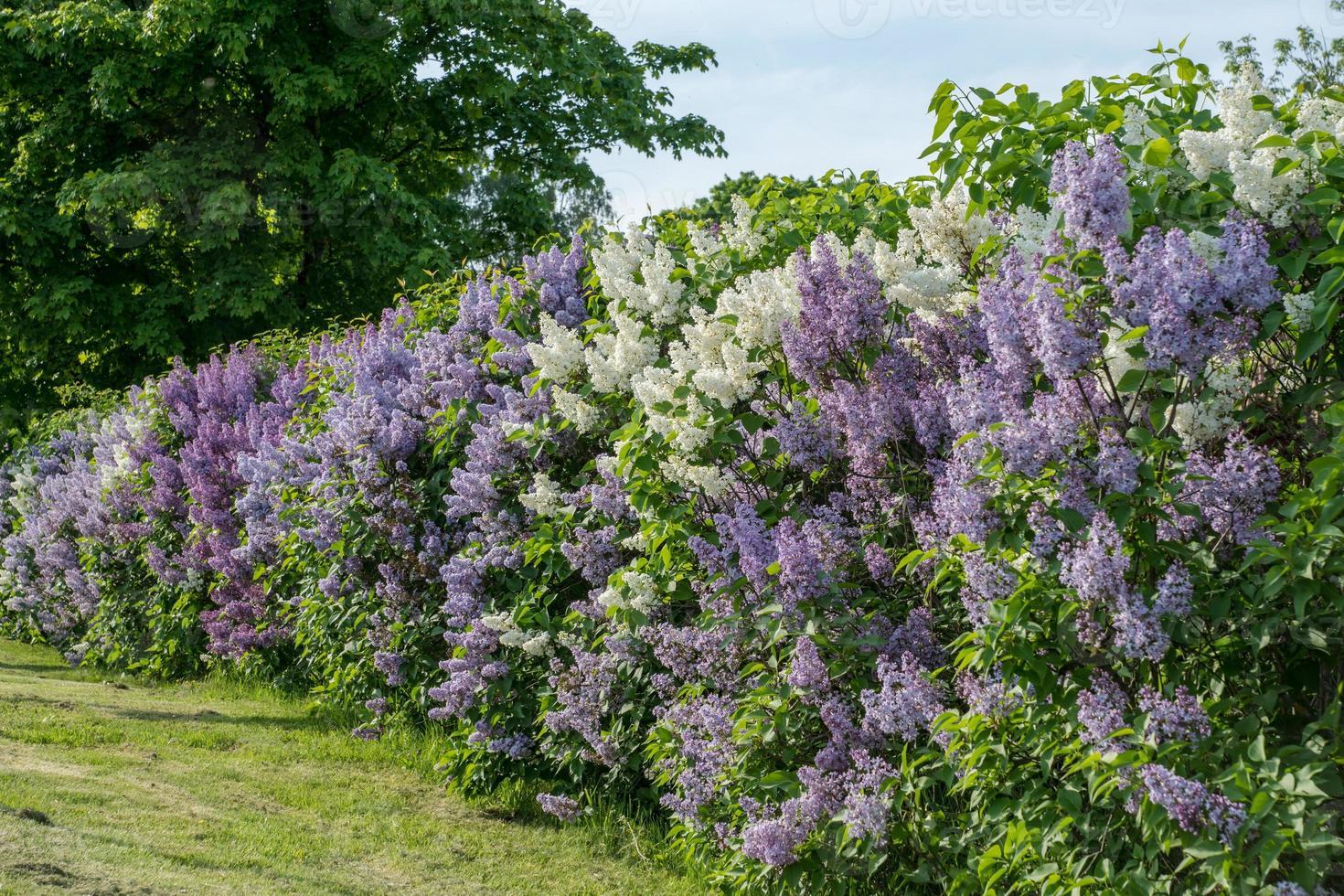haag met witte en paarse lila in zomerzonlicht foto