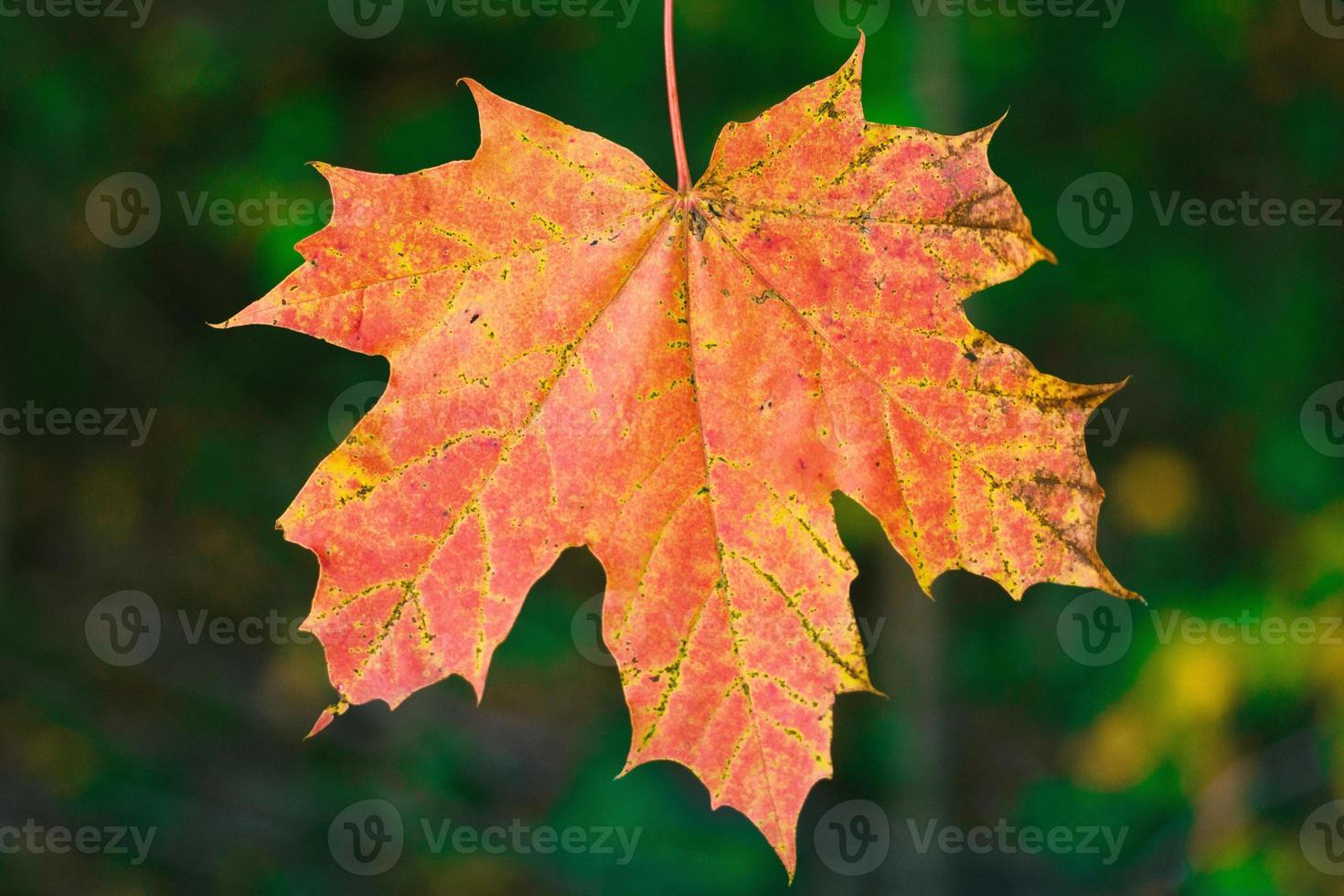 een enkel rood esdoornblad in de herfstzonlicht foto