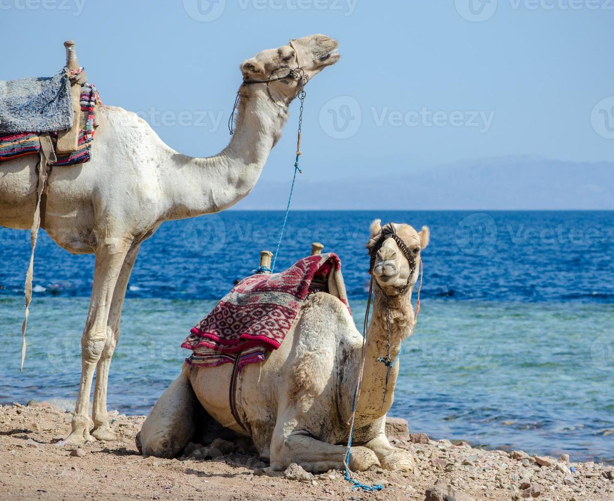 twee kamelen aan de kust foto