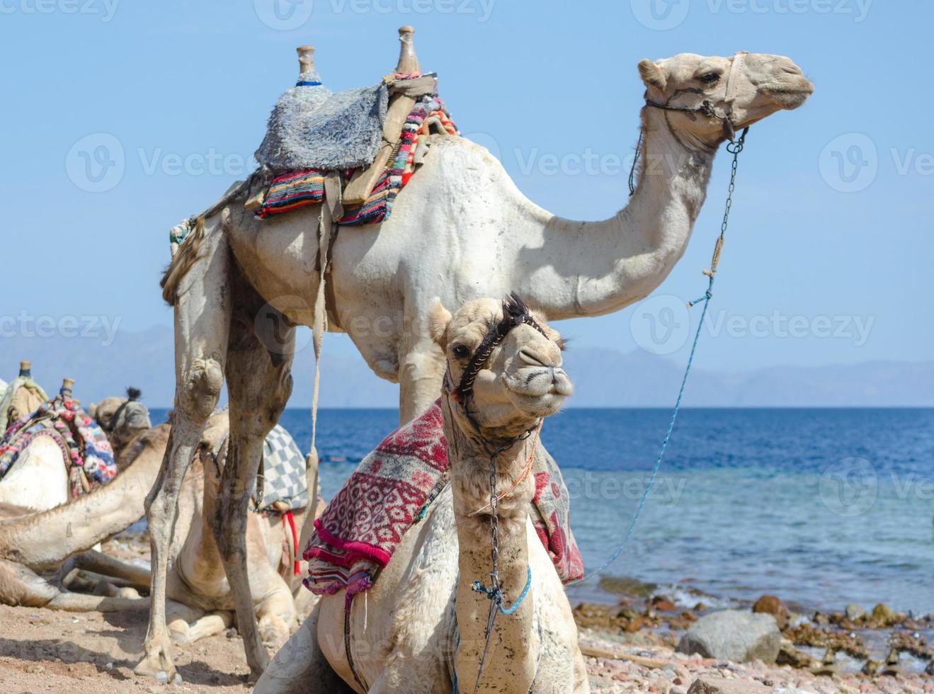 twee kamelen op het strand foto