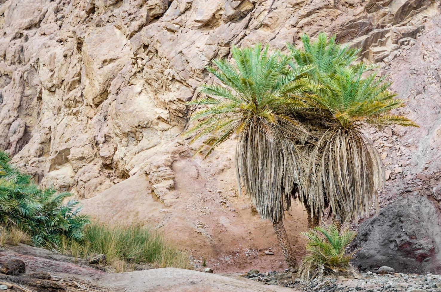 groene palmboom in de bergen foto