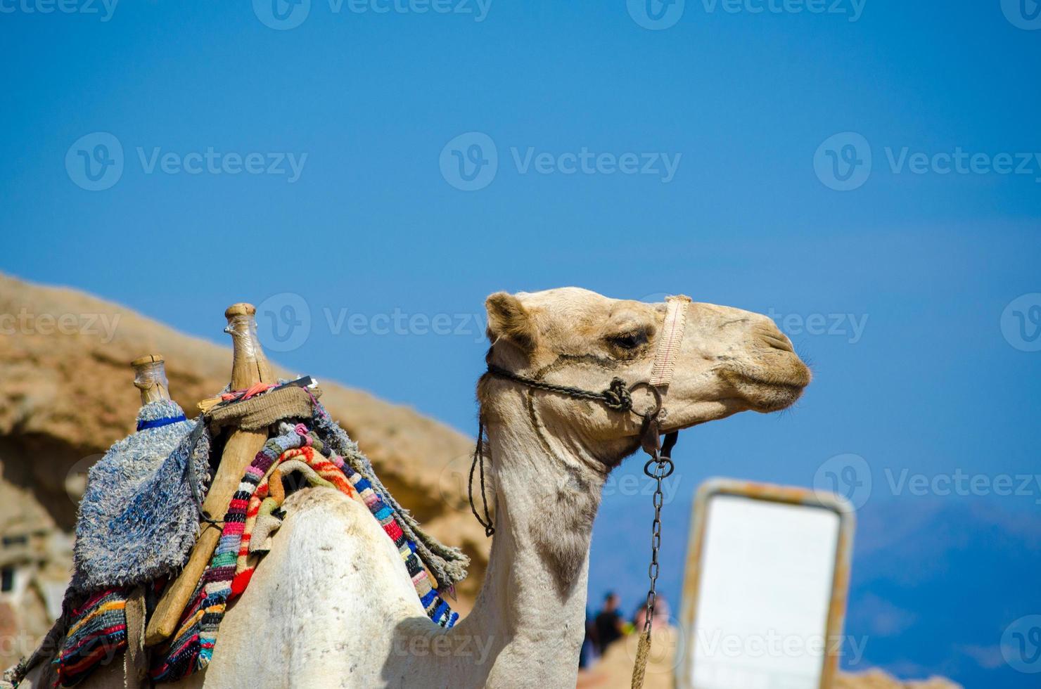 kameel met een leeg bord foto