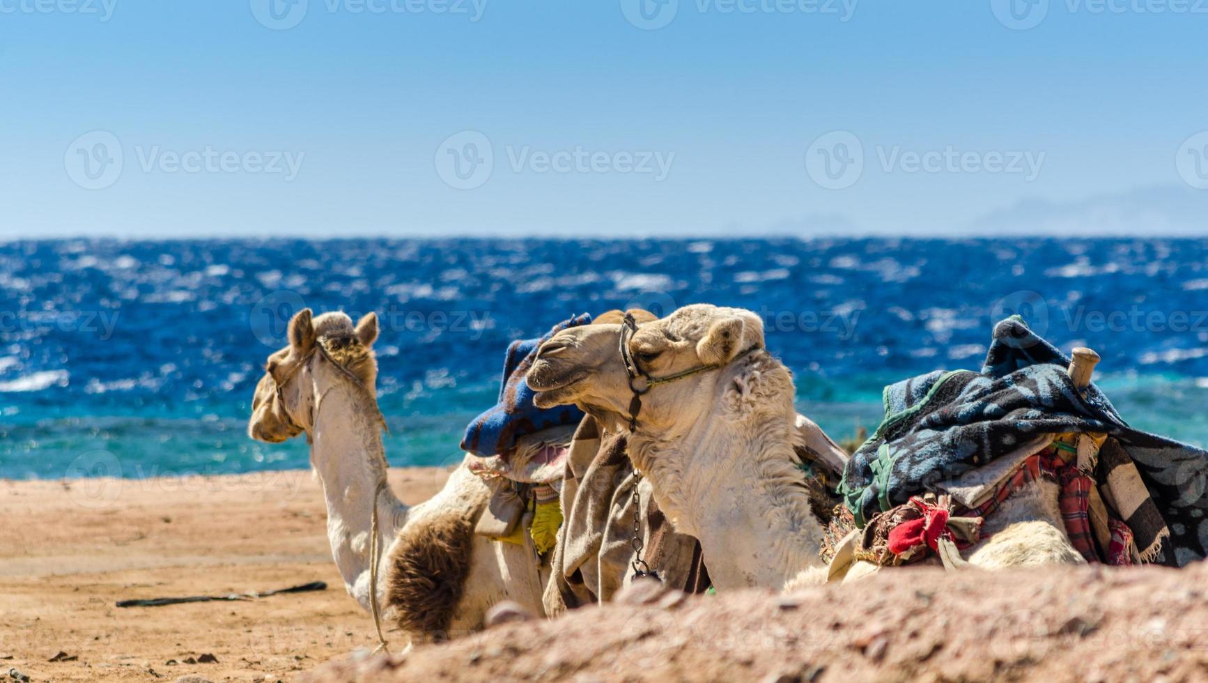 kamelen die op het strand liggen foto