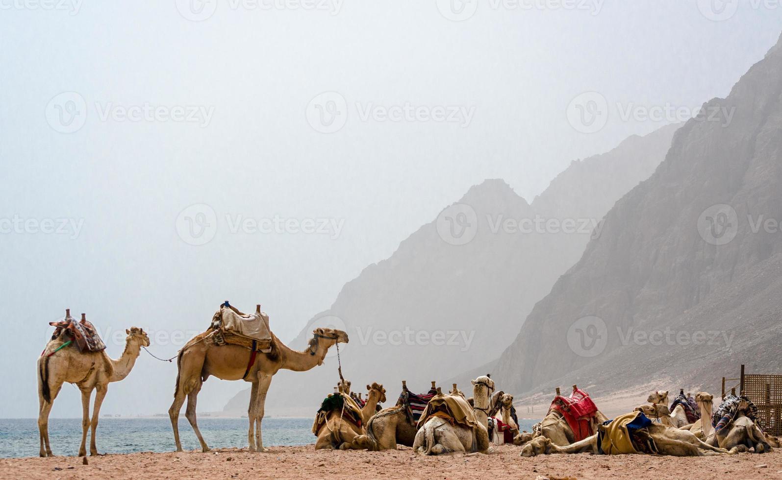 kamelen op een mistig strand foto