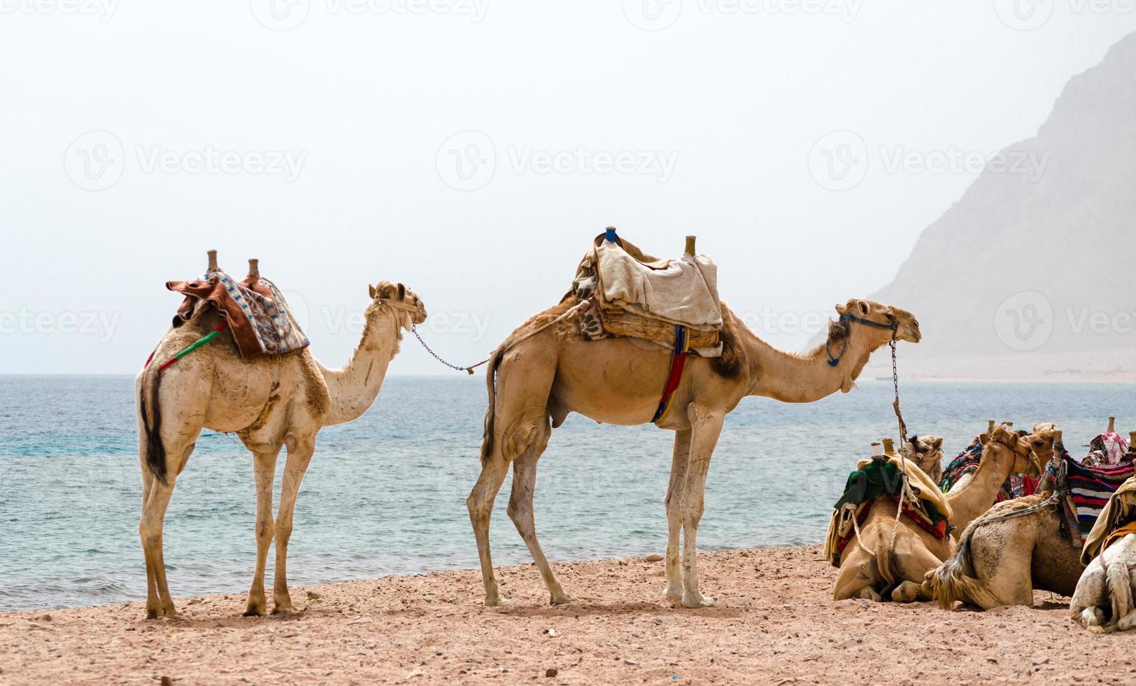 kamelen die zich op een strand bevinden foto