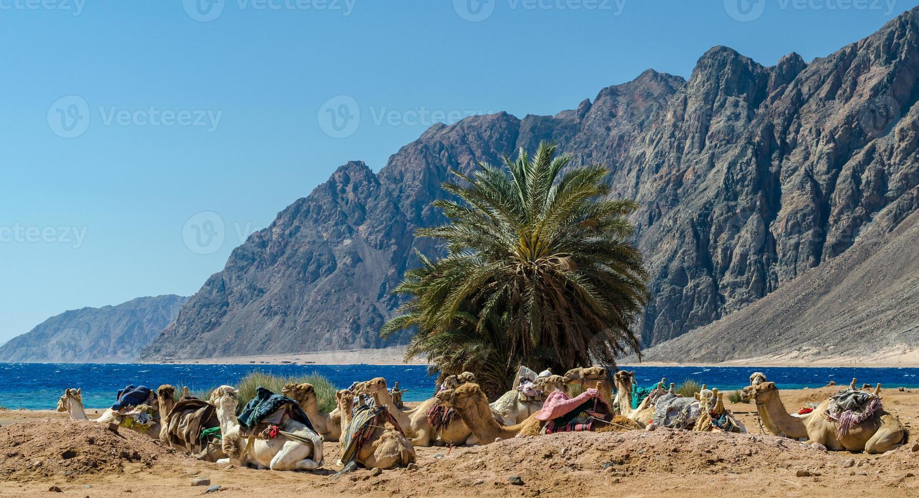 kamelen op een strand foto