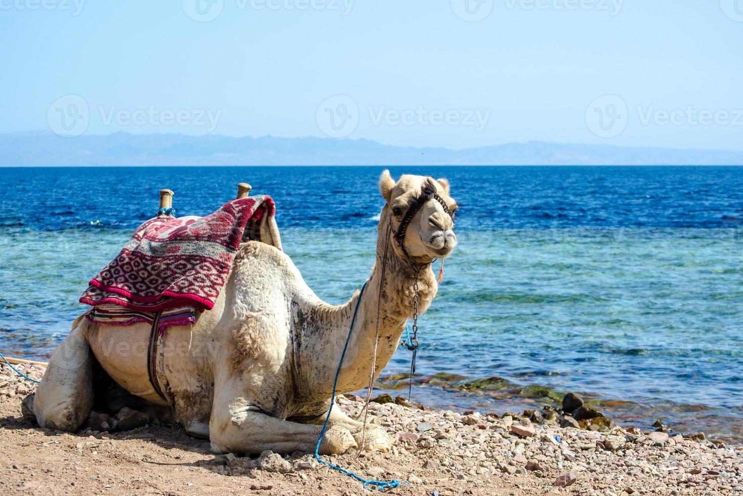 kameel aan het water foto