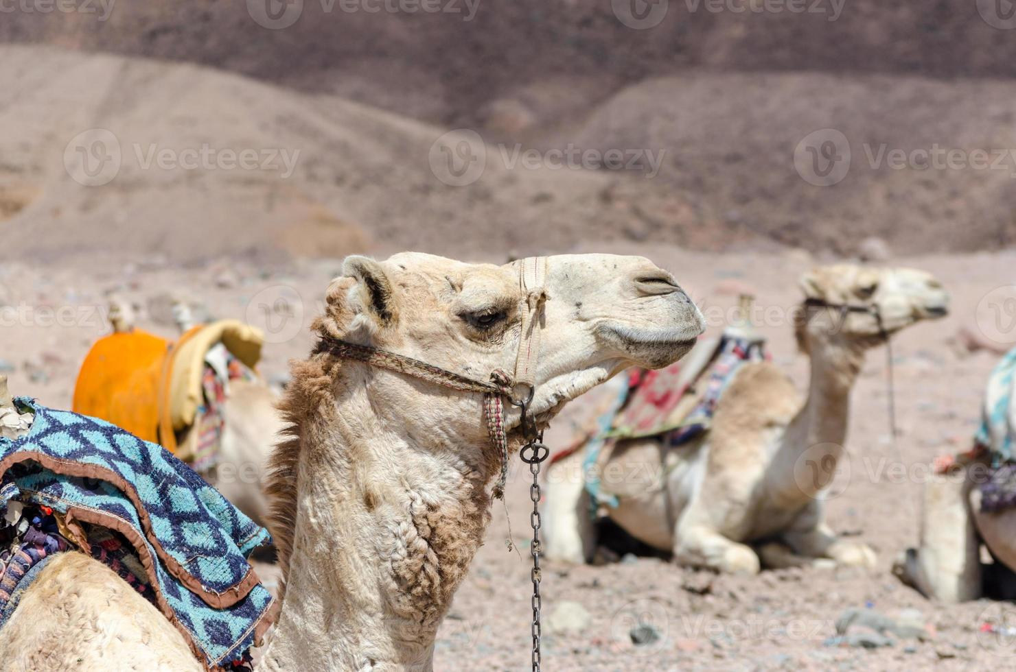 groep rijdende kamelen foto