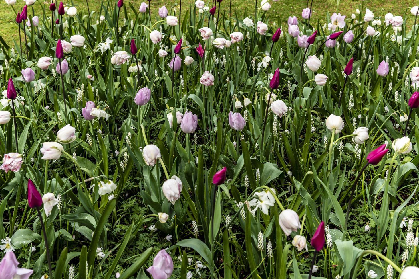 roze en witte tulpen in de tuin foto