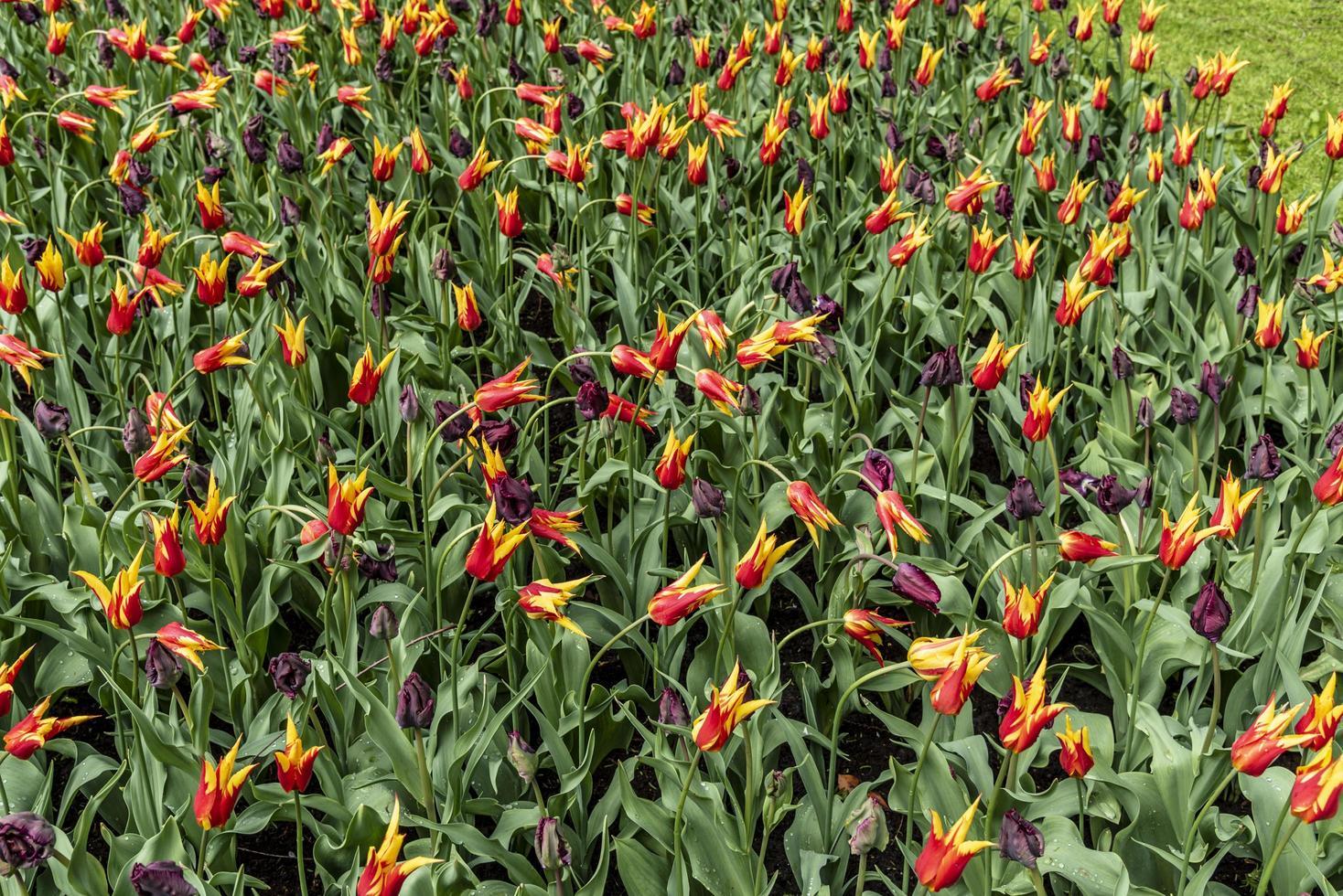 rode en gele bloemen die een bloembed bedekken foto