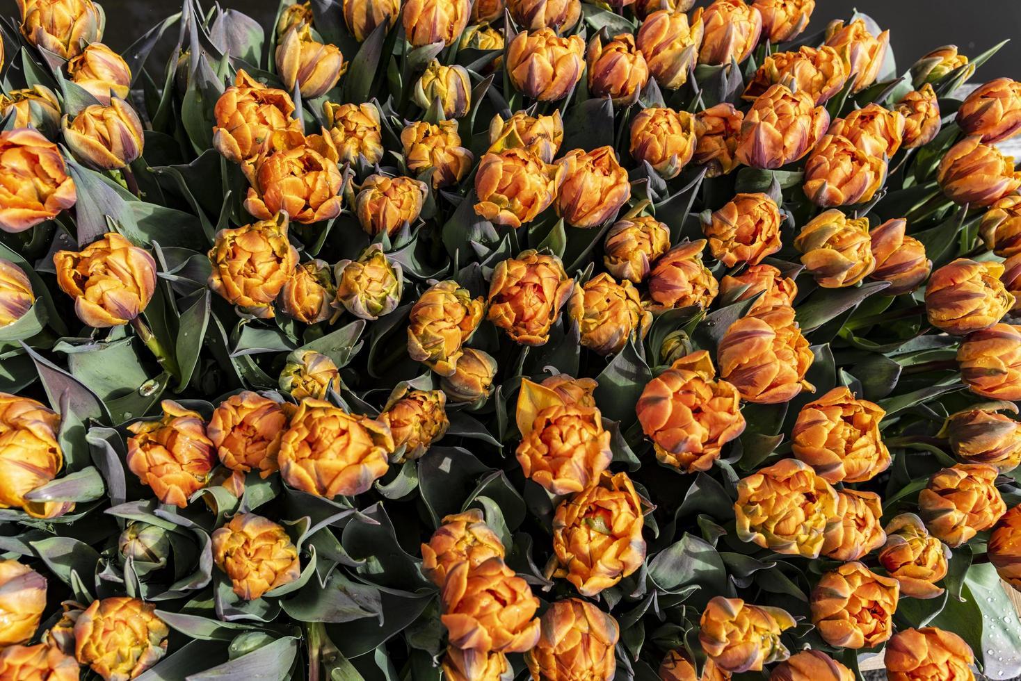 oranje bloembollen gepropt in de tuin foto