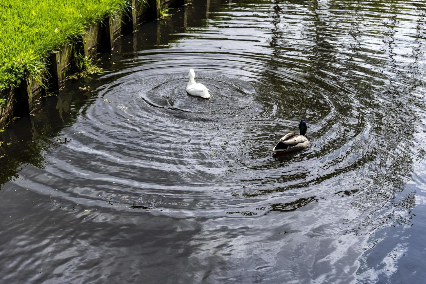 een witte en wilde eend die in vijver zwemmen foto
