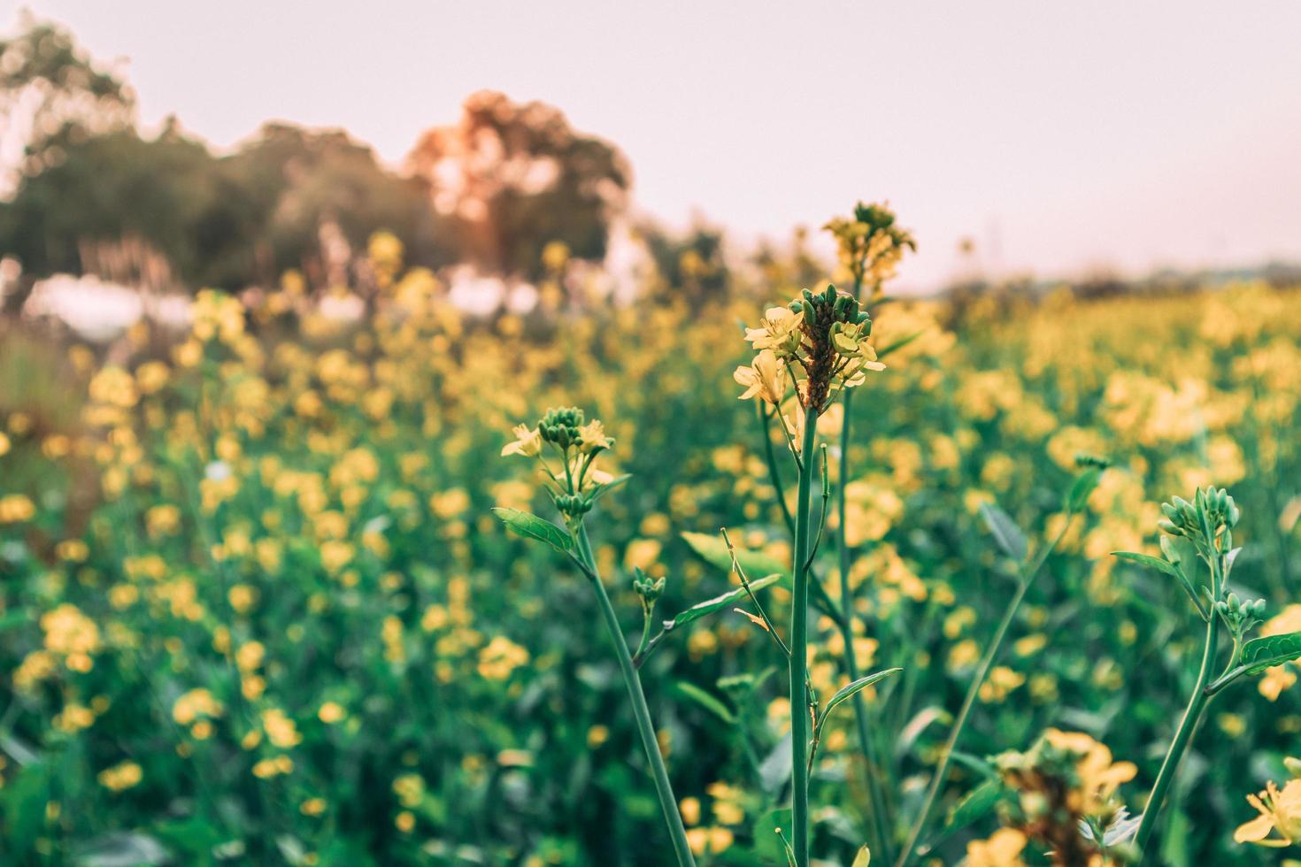 zonsondergang van mosterdboerderij foto