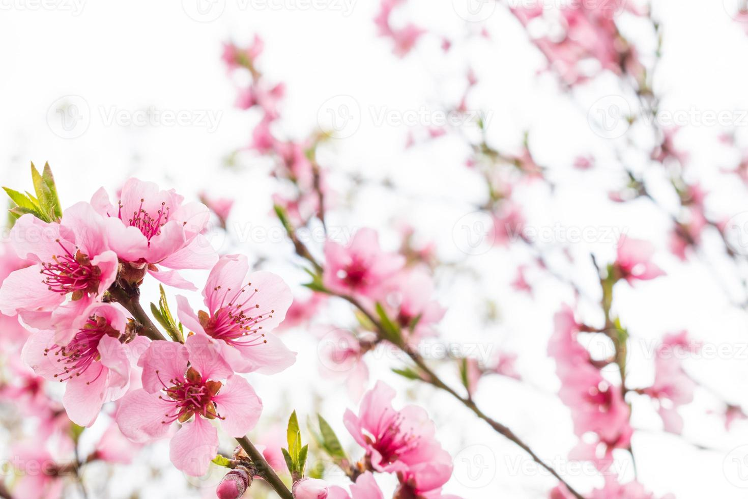 bloeiende roze sakura bloem met hemelachtergrond foto