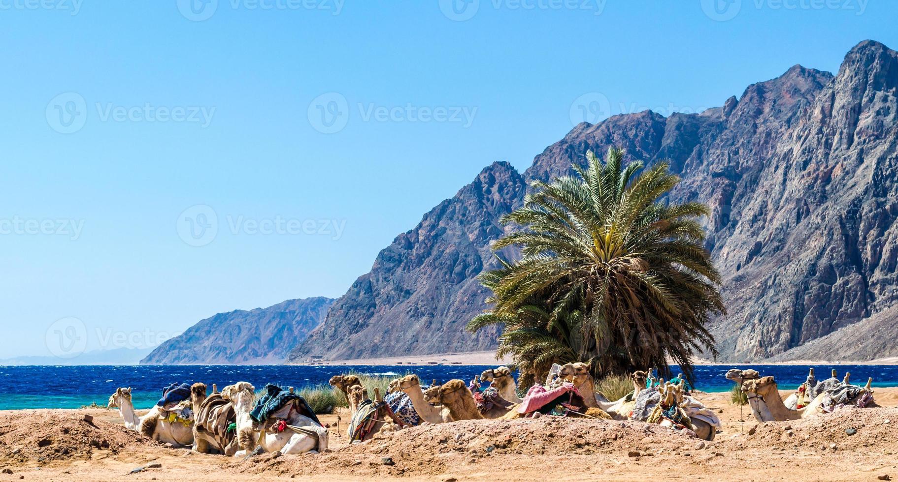 kamelen in het zand foto