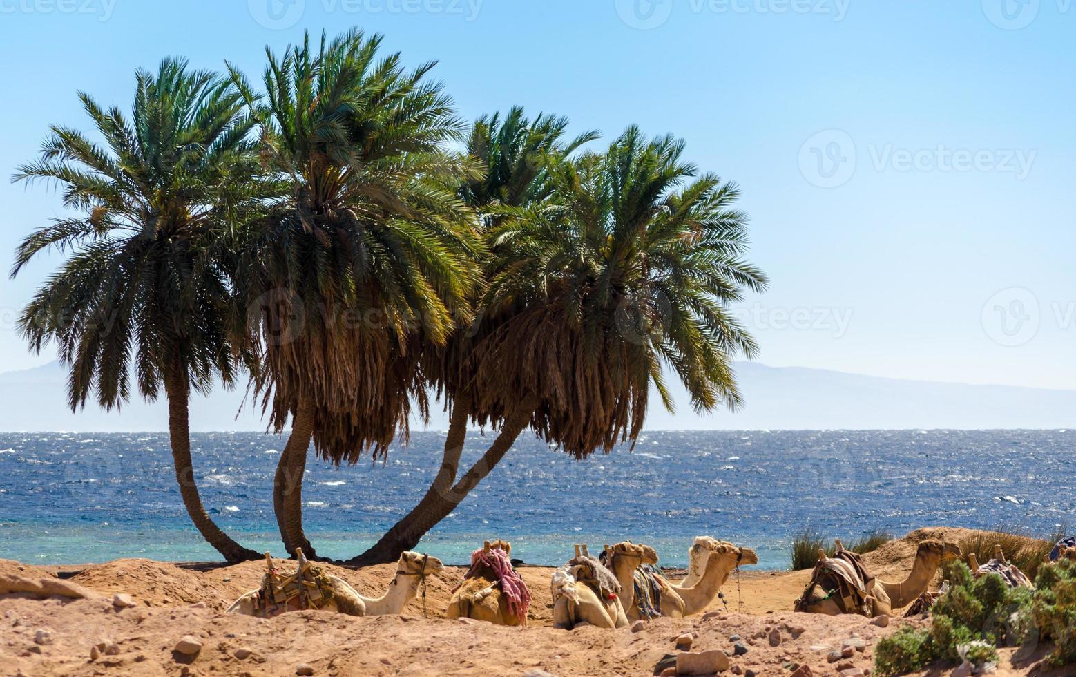 palmbomen en kamelen foto