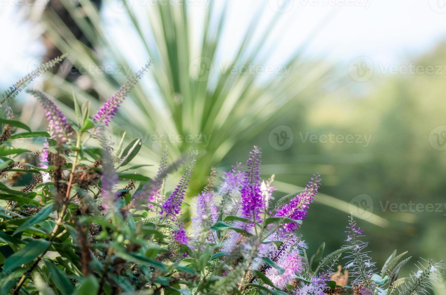 paarse lentebloemen foto