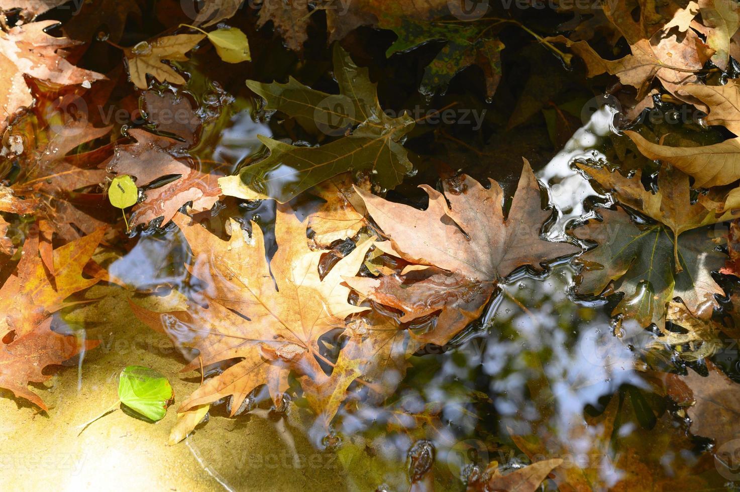 natte gevallen herfst esdoorn bladeren in het water foto