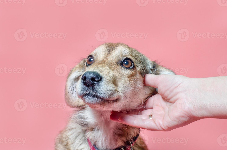 hond wordt huisdier op een roze achtergrond foto