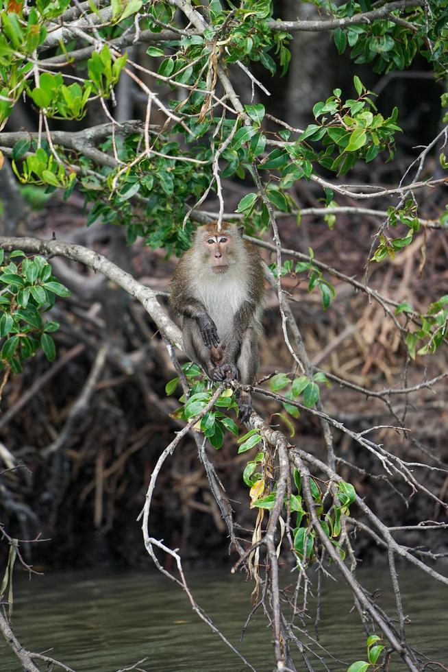 selectieve focus op aap zit op de wortels van mangrovebomen met wazige jungle op achtergrond foto