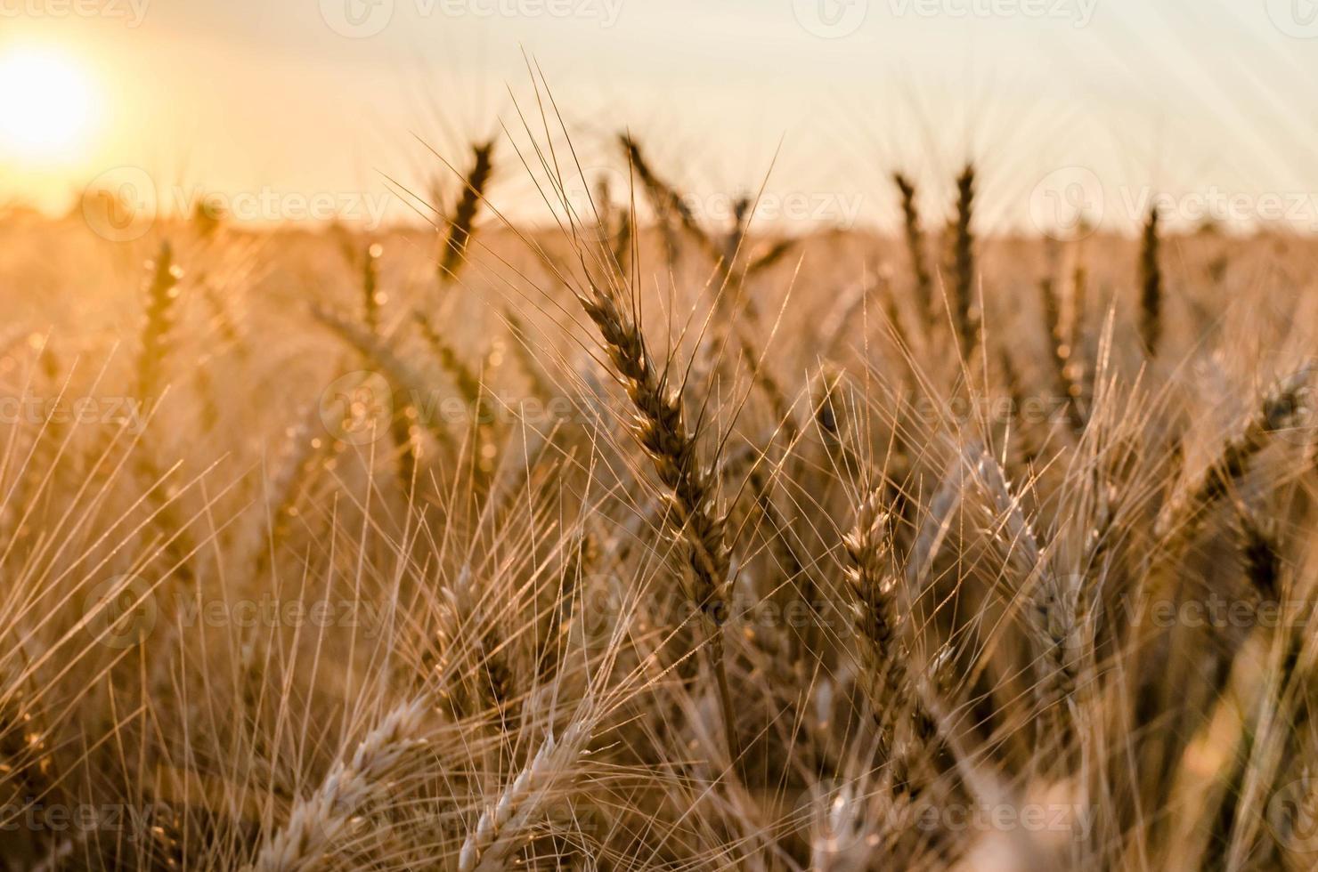 rogge veld bij zonsondergang foto