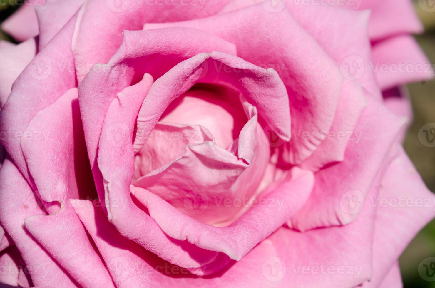 roze roze bloem foto
