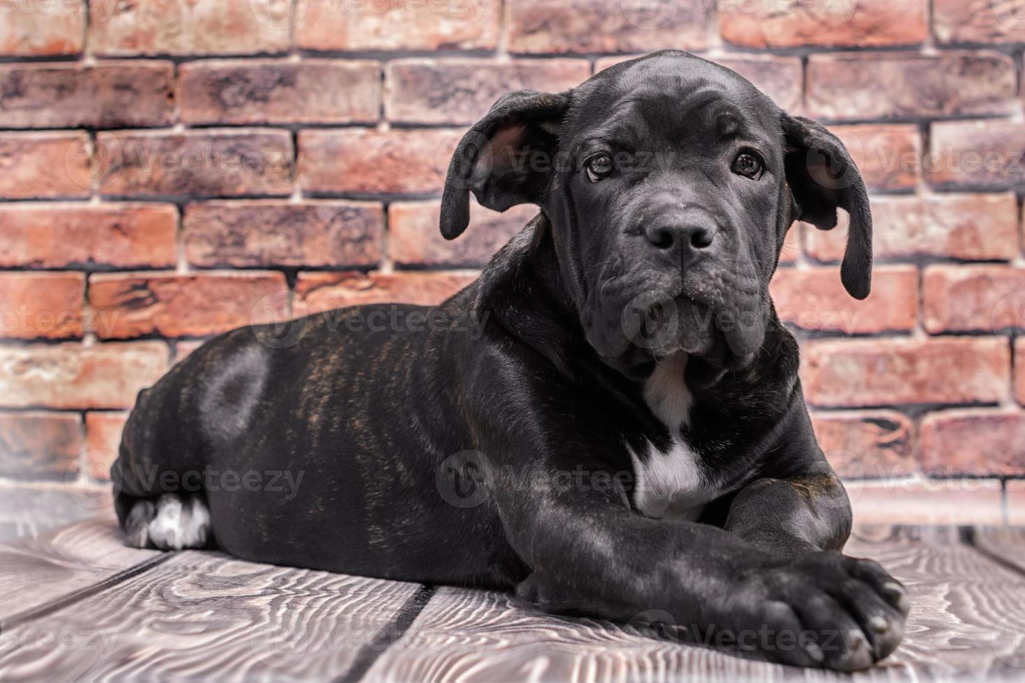 zwarte puppy met een baksteenachtergrond foto