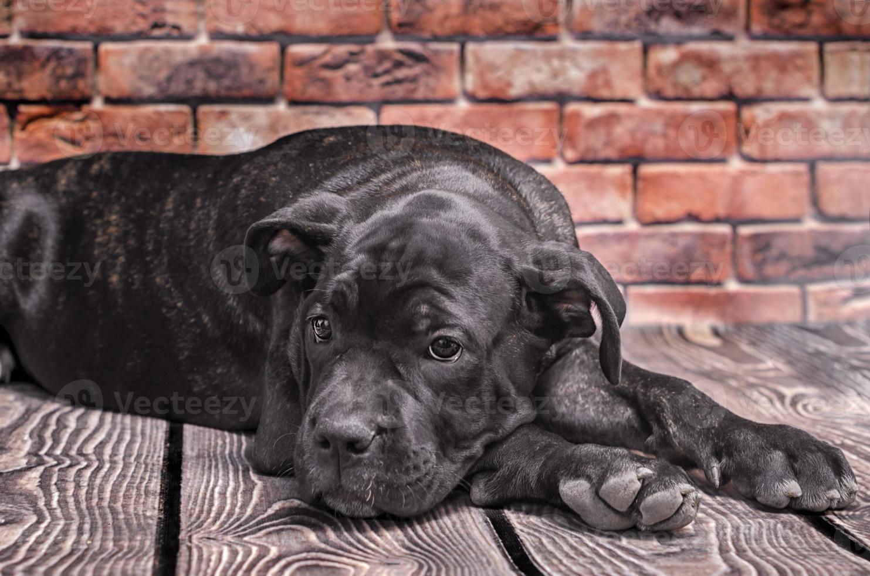 zwarte pup tot op de vloer foto