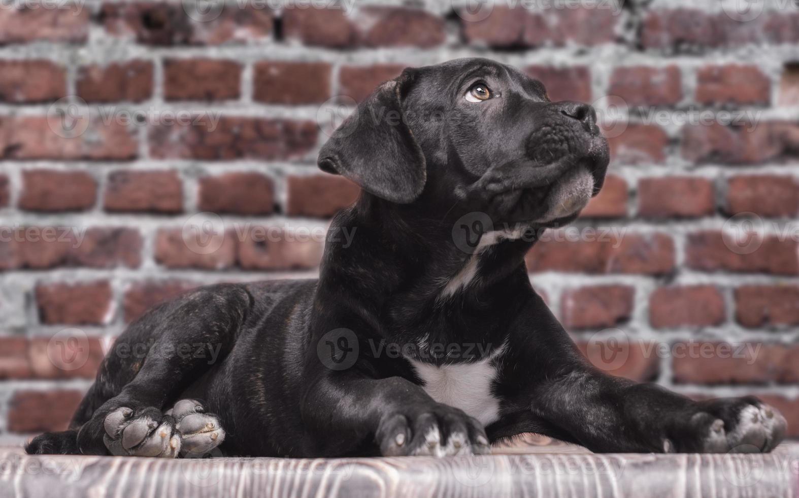 cane corso puppy foto
