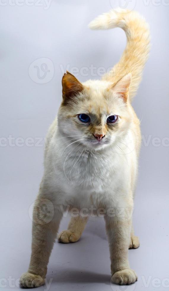 oranje kat met blauwe ogen foto