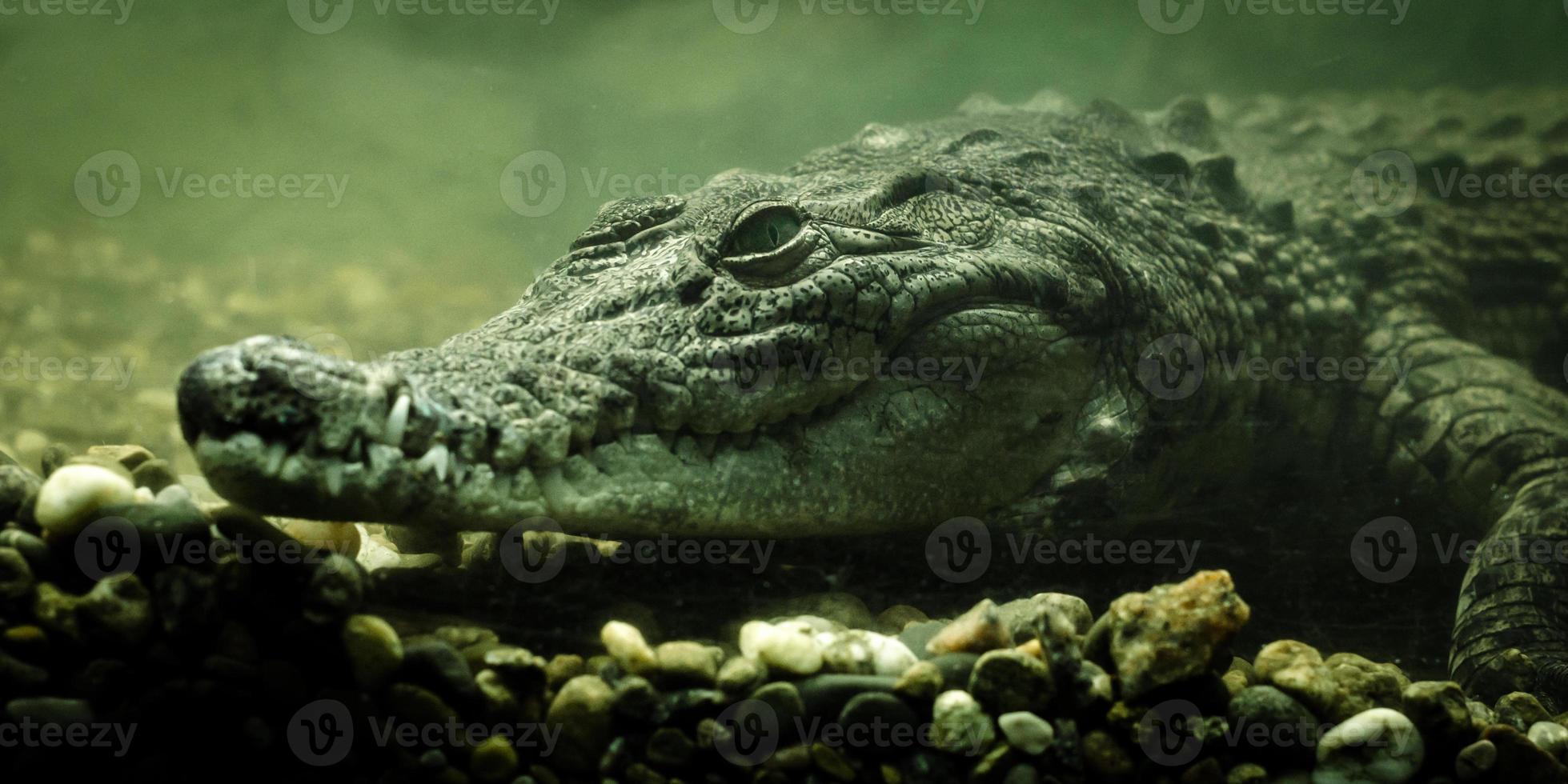 krokodil onderwater close-up foto