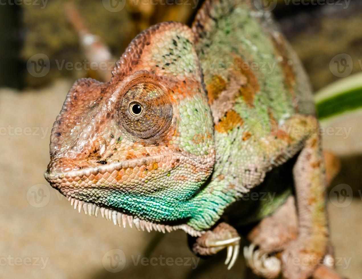 close-up van een kleurrijke kameleon foto
