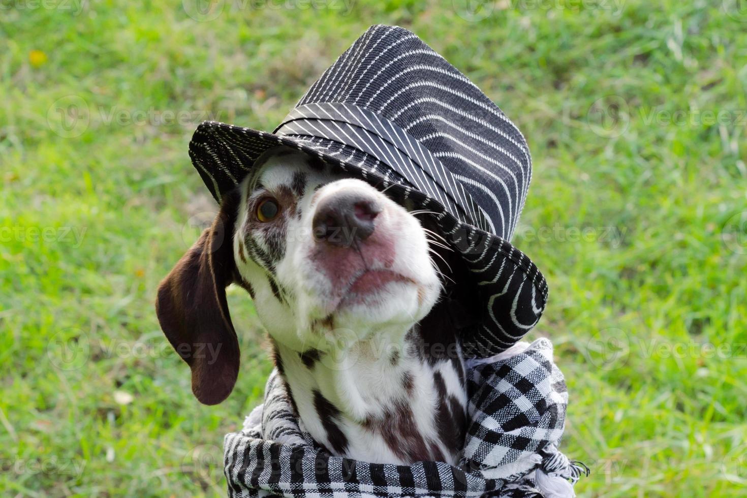 dalmatiër in een gestreepte hoed foto