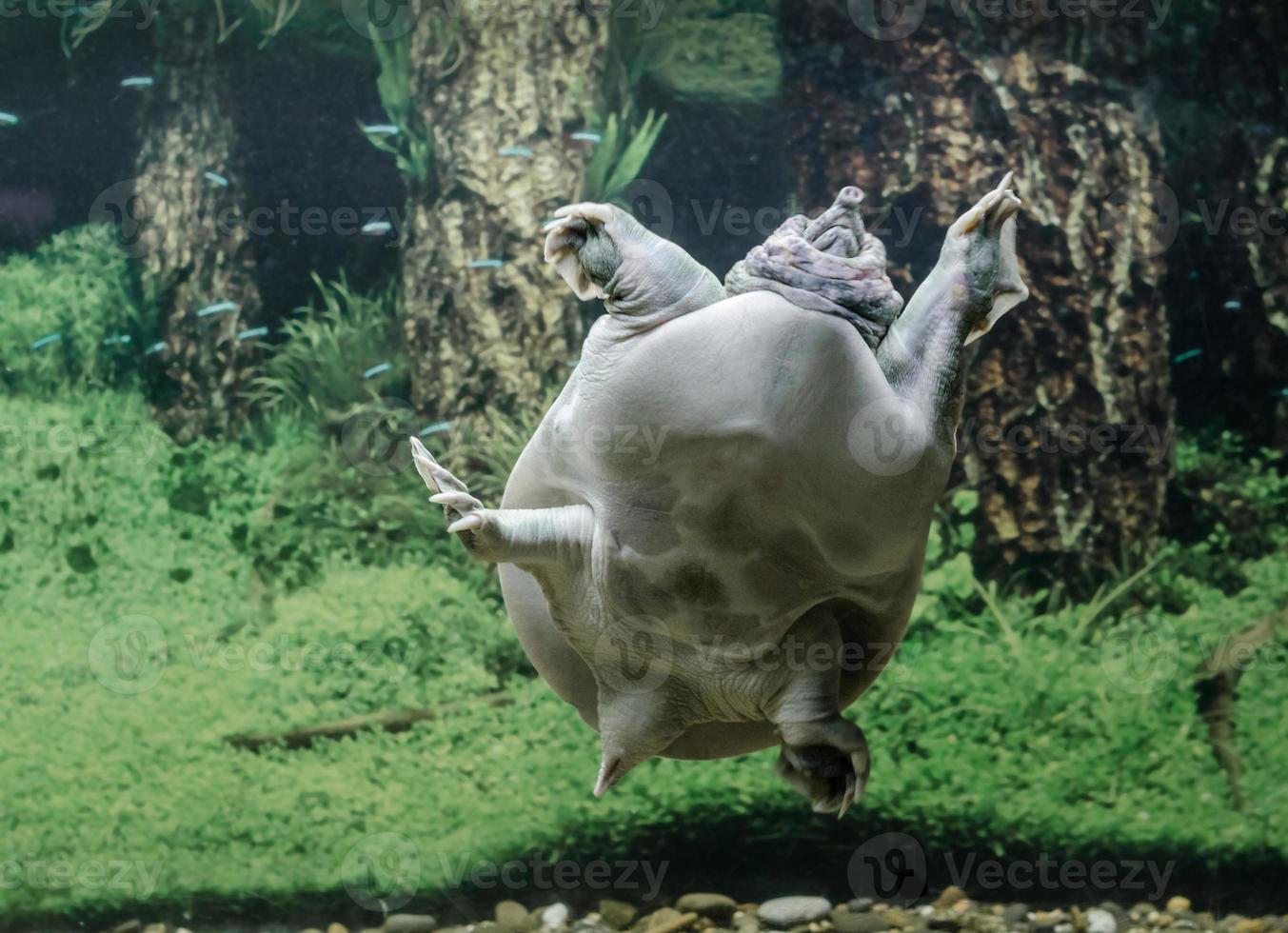 zoetwaterschildpad onder water foto