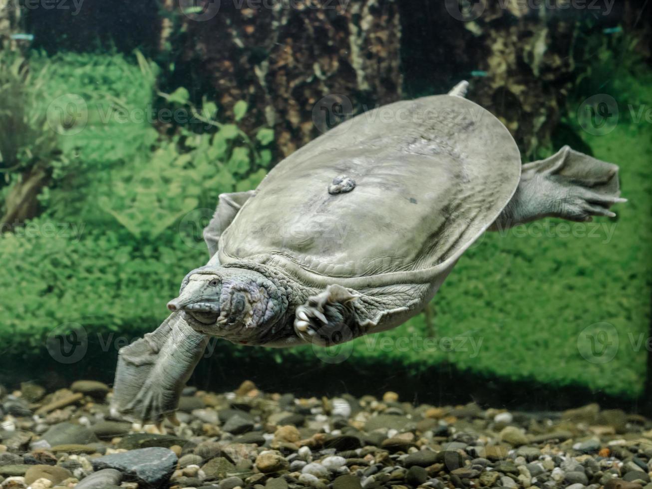 zoetwaterschildpad zwemmen foto