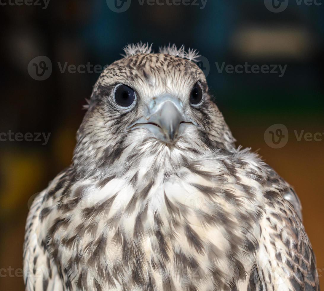close-up van een giervalk foto