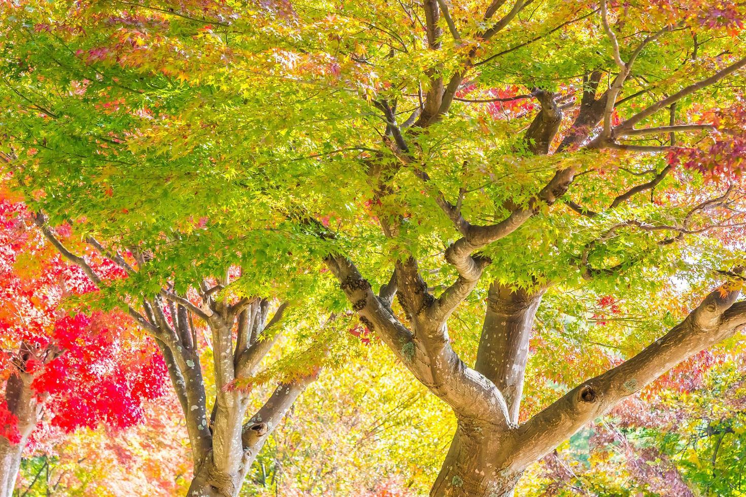 mooi rood en groen esdoornblad op boom foto