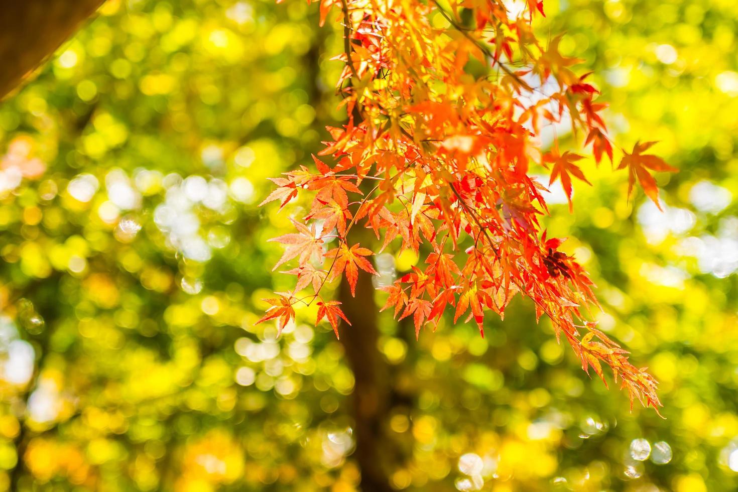 mooie rode esdoornbladeren foto
