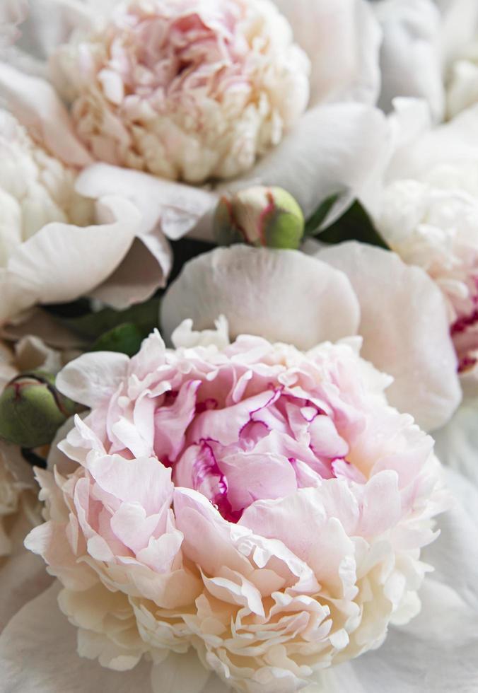 peony bloemen als een natuurlijke achtergrond foto
