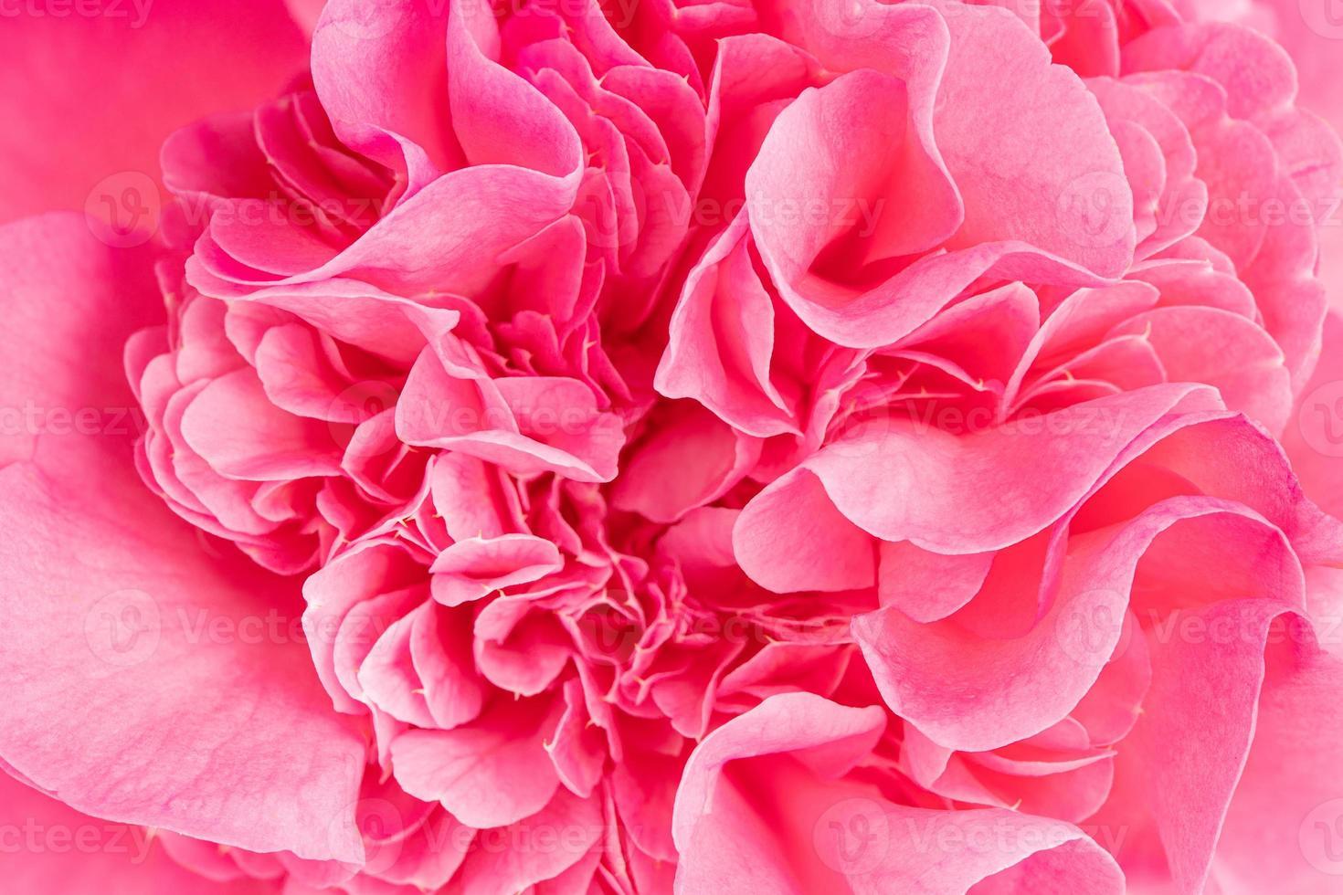 macro-opname van een mooie roze camelia foto