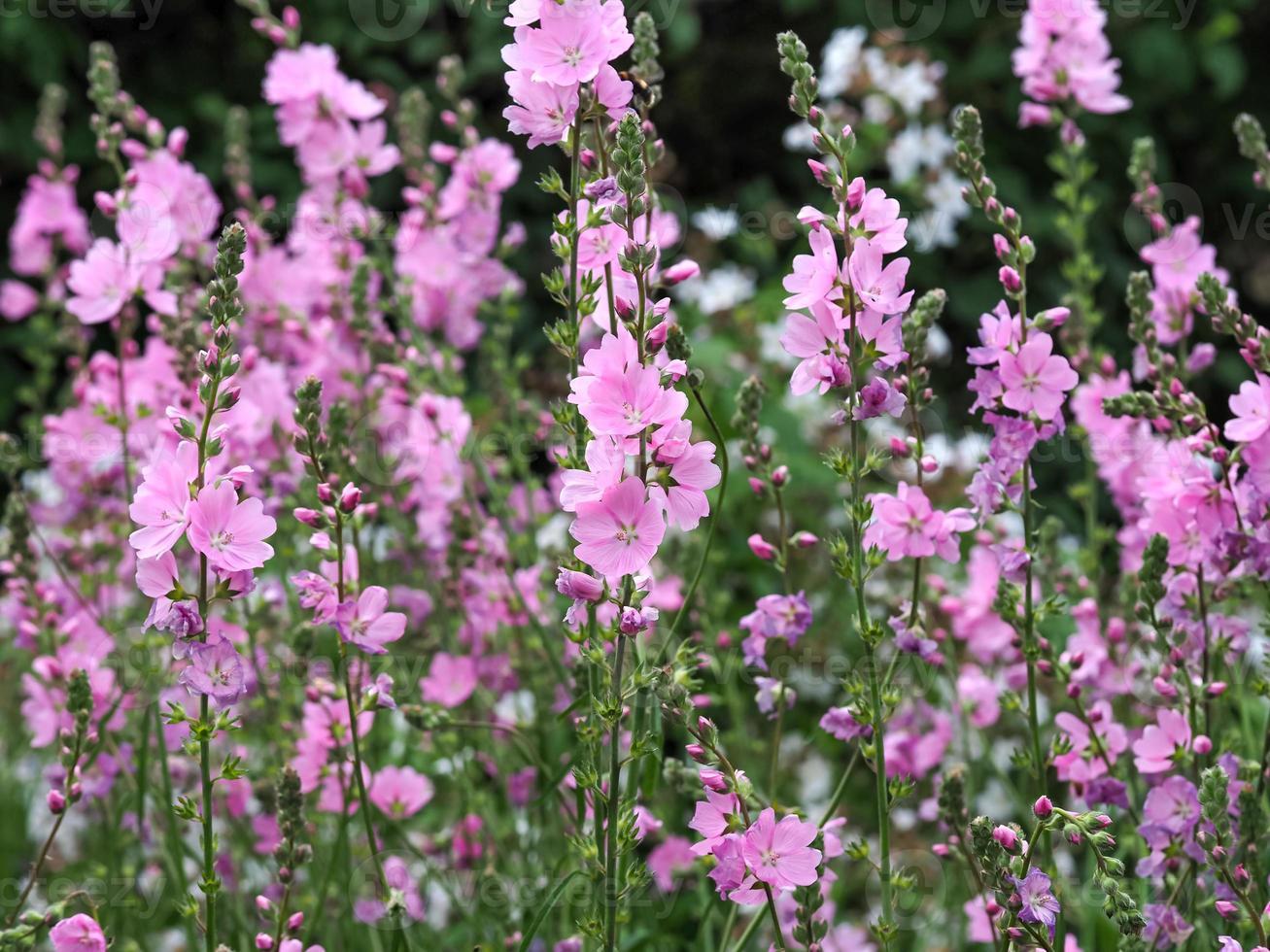 roze prairiebloemen foto