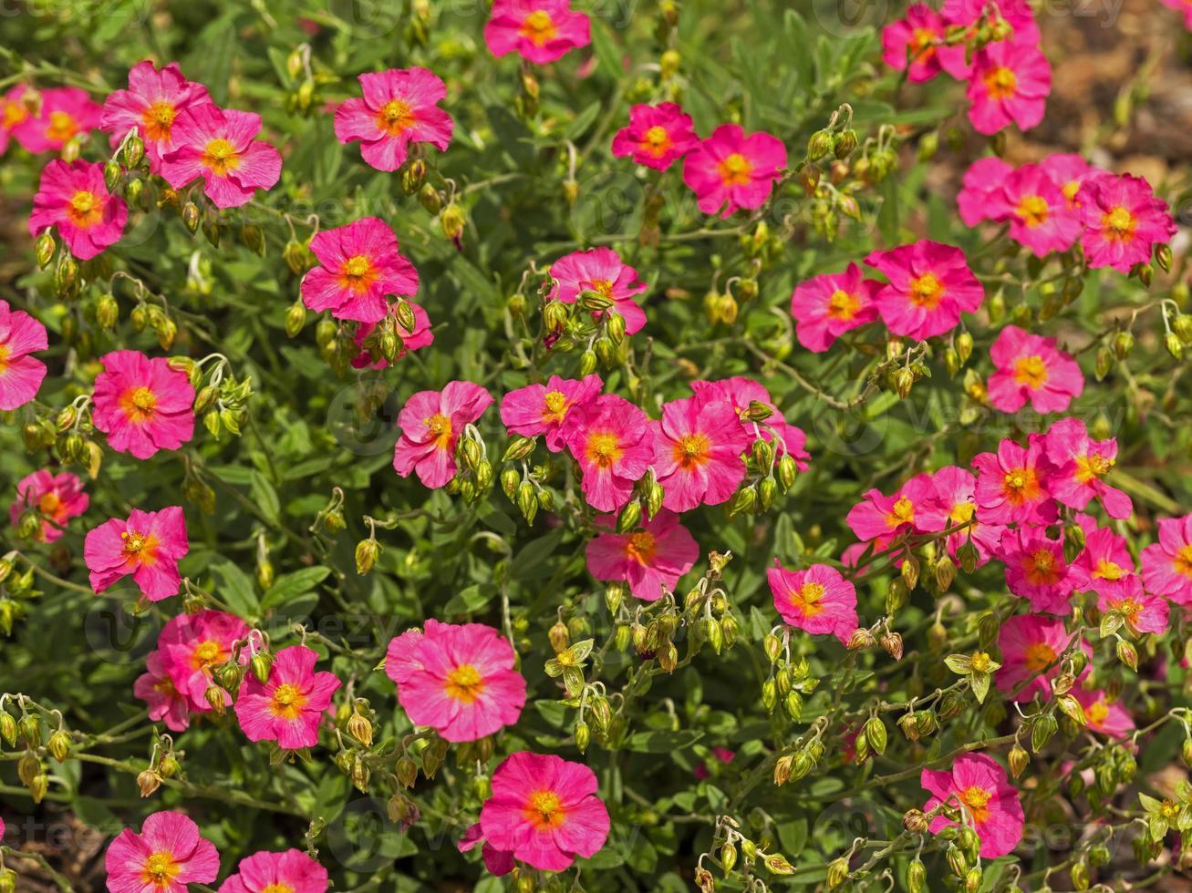 roze rock rose bloemen foto