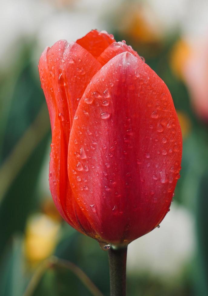 roze en rode tulpen in de tuin in de lente foto