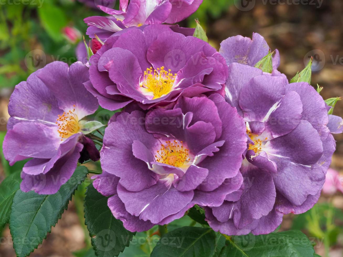 paarse pioenroos bloemen foto