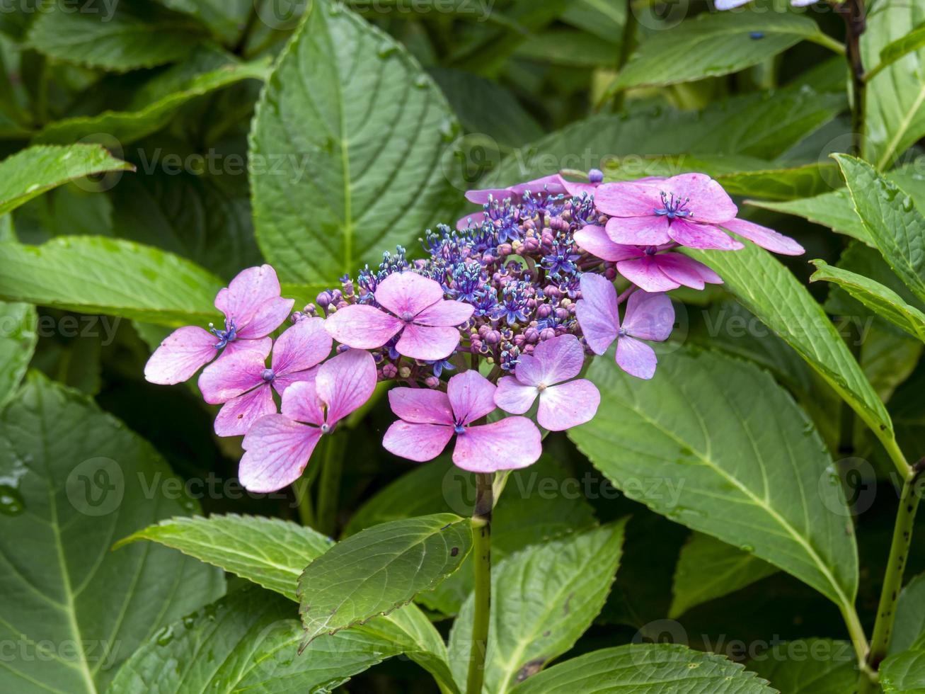 roze en blauwe hortensia foto