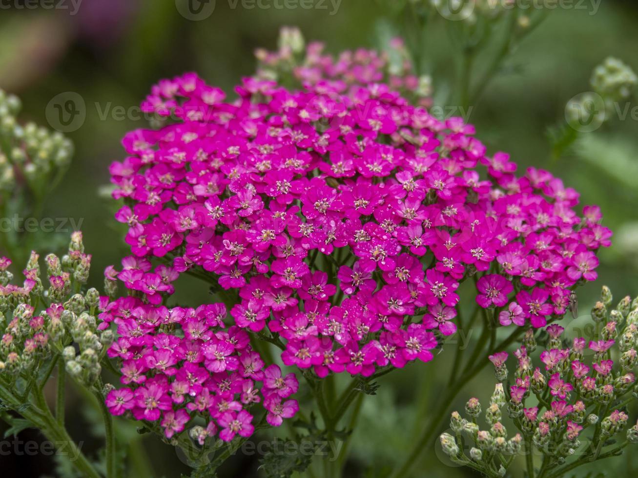 roze duizendblad in een tuin foto